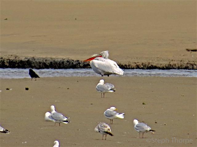 Dalmation Pelican 3 smweb
